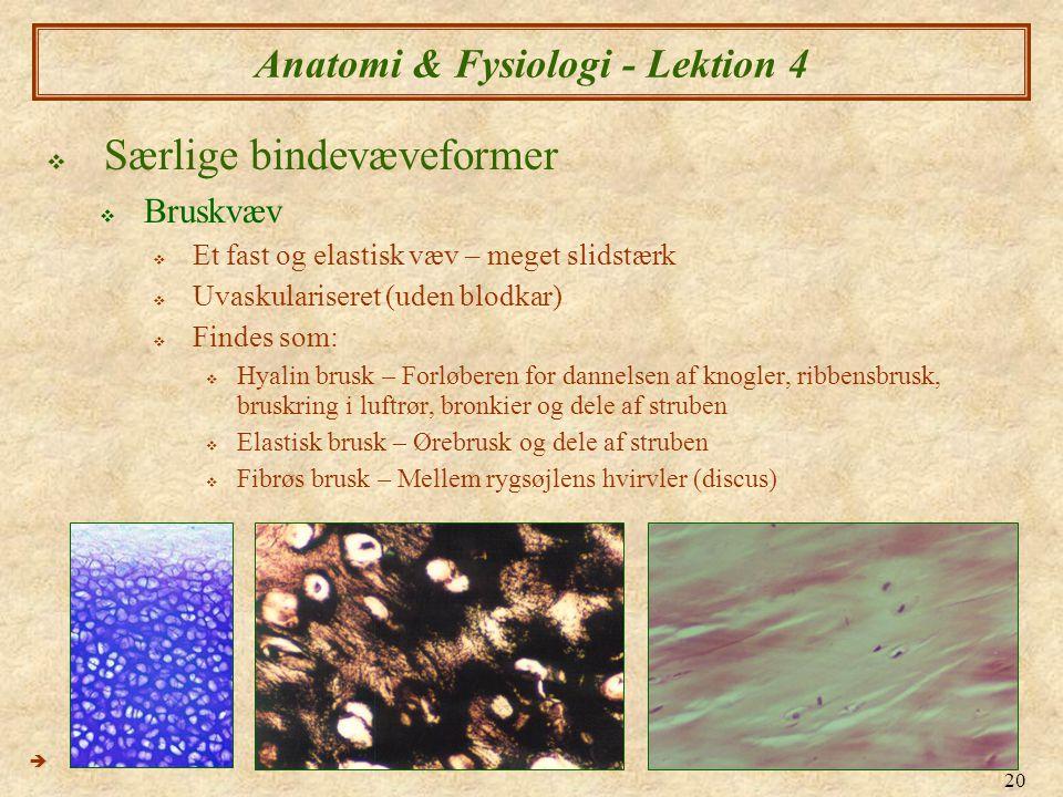 20 Anatomi & Fysiologi - Lektion 4  Særlige bindevæveformer  Bruskvæv  Et fast og elastisk væv – meget slidstærk  Uvaskulariseret (uden blodkar) 