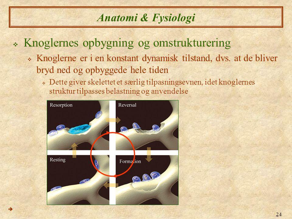 24 Anatomi & Fysiologi  Knoglernes opbygning og omstrukturering  Knoglerne er i en konstant dynamisk tilstand, dvs. at de bliver bryd ned og opbygge