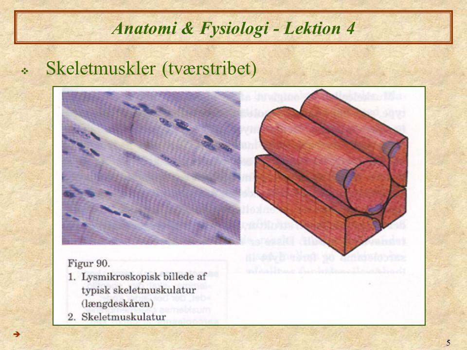 6 Anatomi & Fysiologi - Lektion 4  Skeletmuskler (tværstribet)  Struktur  Muskel  Muskelfibre (myofibre) (Dette er Muskelcelleniveau)  Myofibriller (fibriller)  Sarkomerer 