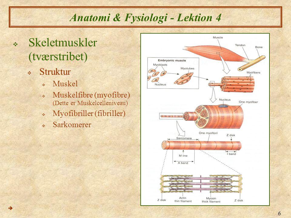 6 Anatomi & Fysiologi - Lektion 4  Skeletmuskler (tværstribet)  Struktur  Muskel  Muskelfibre (myofibre) (Dette er Muskelcelleniveau)  Myofibrill