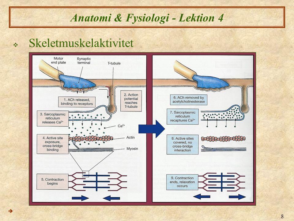 8 Anatomi & Fysiologi - Lektion 4  Skeletmuskelaktivitet 