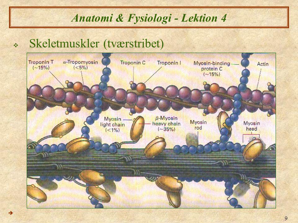 9 Anatomi & Fysiologi - Lektion 4  Skeletmuskler (tværstribet) 