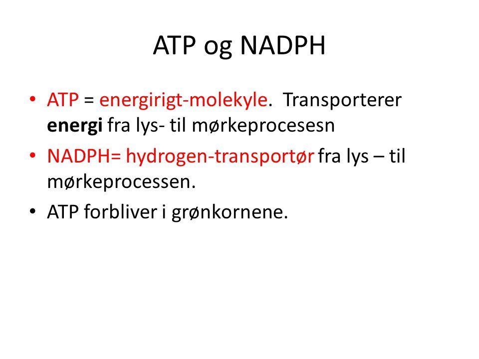 ATP og NADPH • ATP = energirigt-molekyle. Transporterer energi fra lys- til mørkeprocesesn • NADPH= hydrogen-transportør fra lys – til mørkeprocessen.