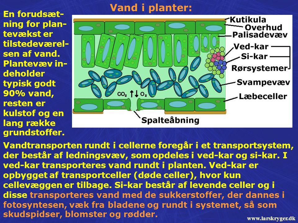 Vandtransporten rundt i cellerne foregår i et transportsystem, der består af ledningsvæv, som opdeles i ved-kar og si-kar.