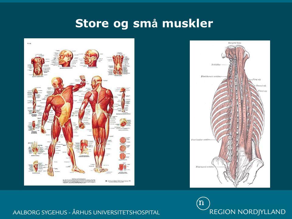 Store og sm å muskler