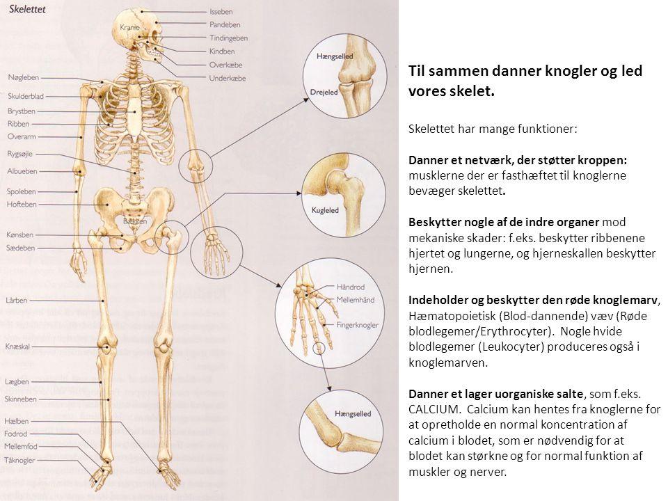 Til sammen danner knogler og led vores skelet. Skelettet har mange funktioner: Danner et netværk, der støtter kroppen: musklerne der er fasthæftet til
