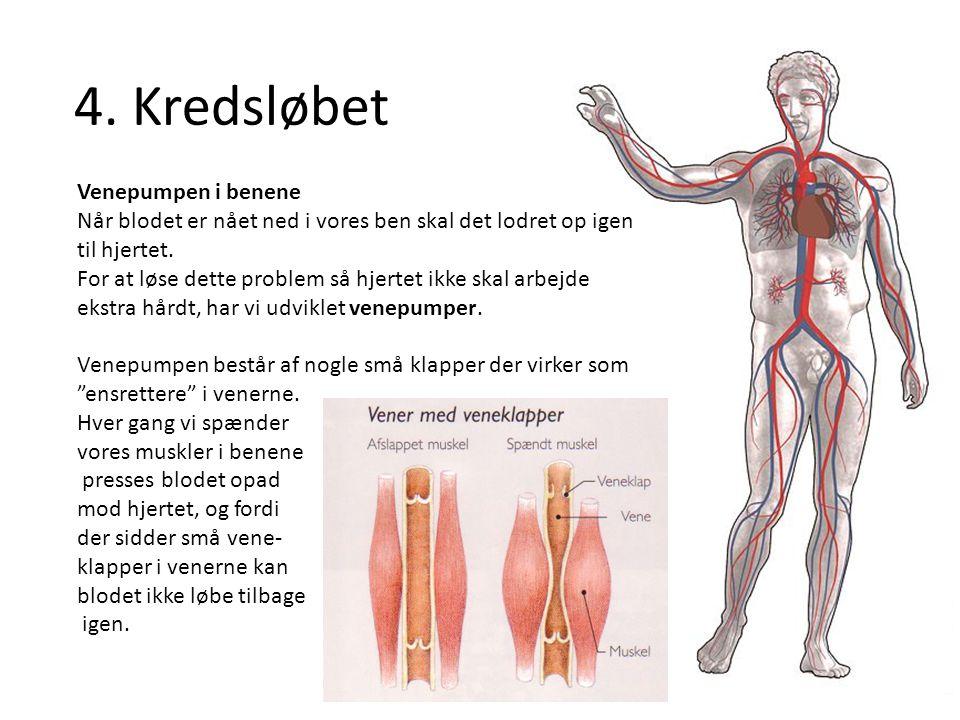 4. Kredsløbet Venepumpen i benene Når blodet er nået ned i vores ben skal det lodret op igen til hjertet. For at løse dette problem så hjertet ikke sk