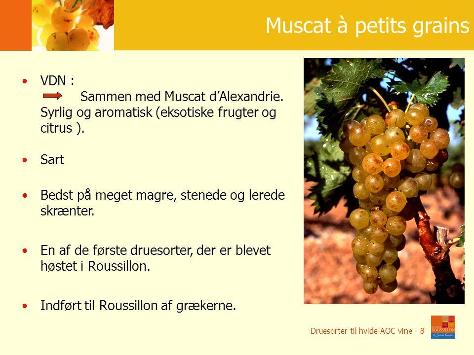15 szczepów na wina jako ś ciowe Muscat à petits grains VDN : Sammen med Muscat d'Alexandrie.