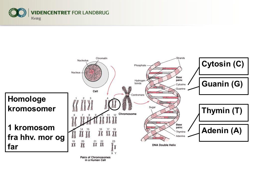 Cytosin (C) Guanin (G) Thymin (T) Adenin (A) Homologe kromosomer 1 kromosom fra hhv. mor og far