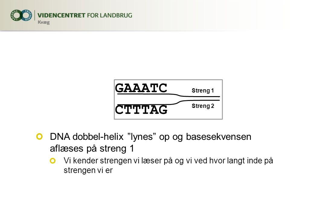 GAAATC CTTTAG DNA dobbel-helix lynes op og basesekvensen aflæses på streng 1 Vi kender strengen vi læser på og vi ved hvor langt inde på strengen vi er Streng 1 Streng 2