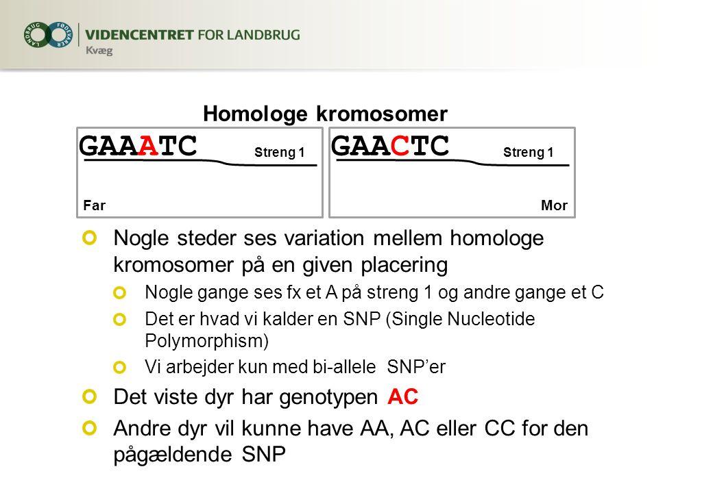 GAAATC Nogle steder ses variation mellem homologe kromosomer på en given placering Nogle gange ses fx et A på streng 1 og andre gange et C Det er hvad vi kalder en SNP (Single Nucleotide Polymorphism) Vi arbejder kun med bi-allele SNP'er Det viste dyr har genotypen AC Andre dyr vil kunne have AA, AC eller CC for den pågældende SNP Streng 1 GAACTC Streng 1 Homologe kromosomer FarMor