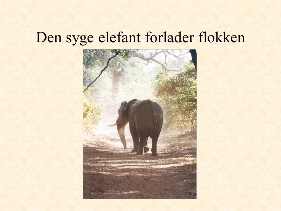 Den syge elefant forlader flokken