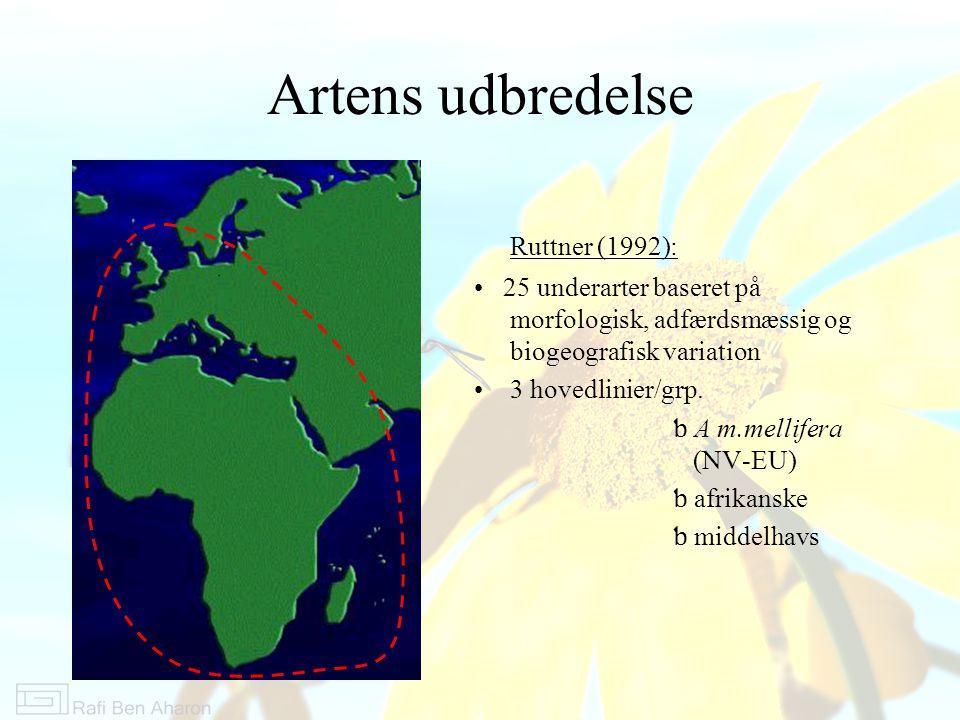 Artens udbredelse Ruttner (1992): 25 underarter baseret på morfologisk, adfærdsmæssig og biogeografisk variation 3 hovedlinier/grp.
