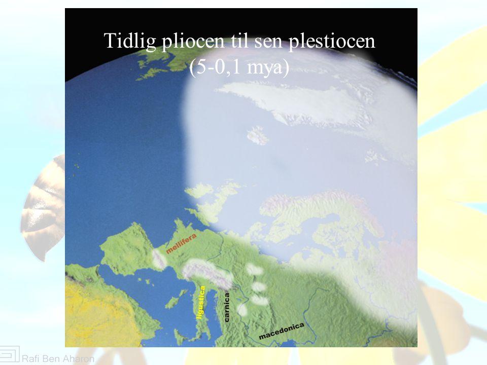 Tidlig pliocen til sen plestiocen (5-0,1 mya)