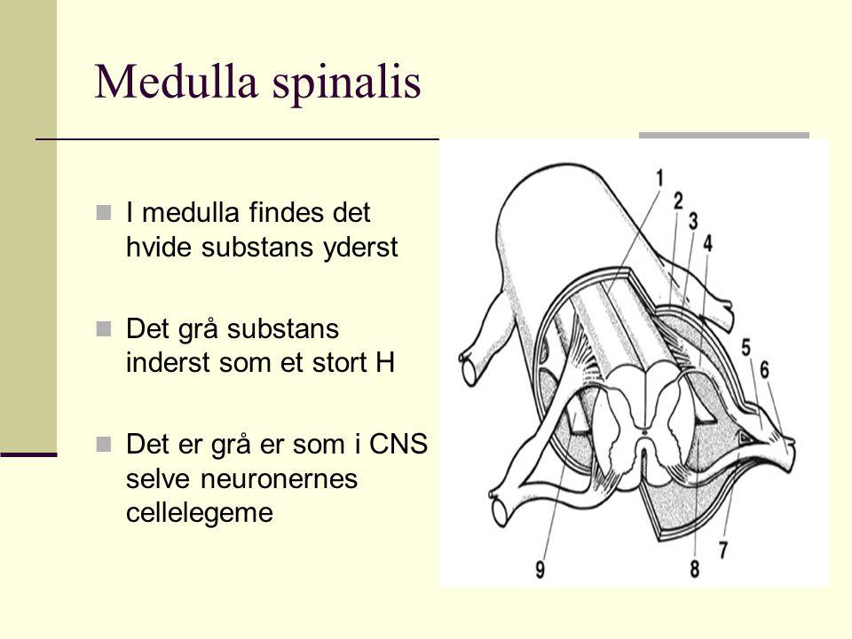 Medulla spinalis I medulla findes det hvide substans yderst Det grå substans inderst som et stort H Det er grå er som i CNS selve neuronernes celleleg