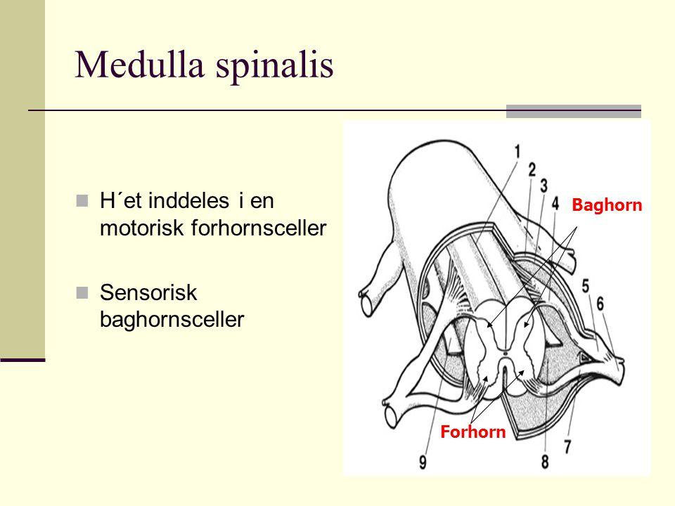 Medulla spinalis H´et inddeles i en motorisk forhornsceller Sensorisk baghornsceller Forhorn Baghorn