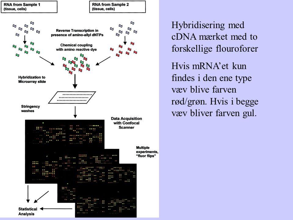Hybridisering med cDNA mærket med to forskellige flouroforer Hvis mRNA'et kun findes i den ene type væv blive farven rød/grøn.