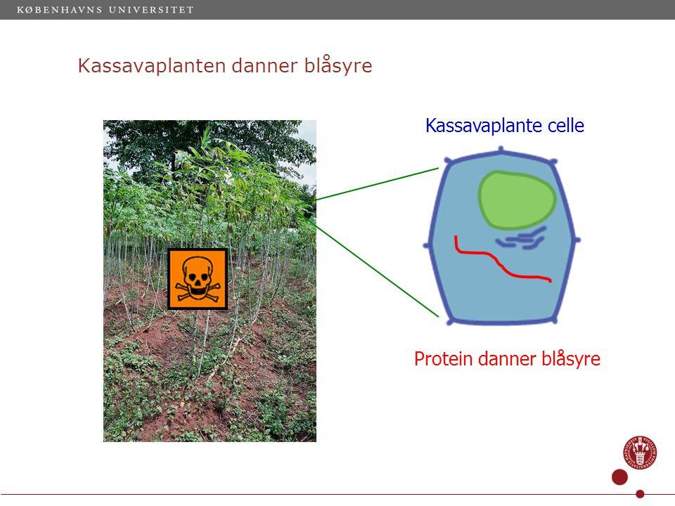 Kassavaplanten danner blåsyre Kassavaplante celle Protein danner blåsyre