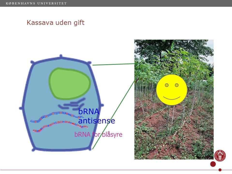 Kassava uden gift bRNA for blåsyre bRNA antisense