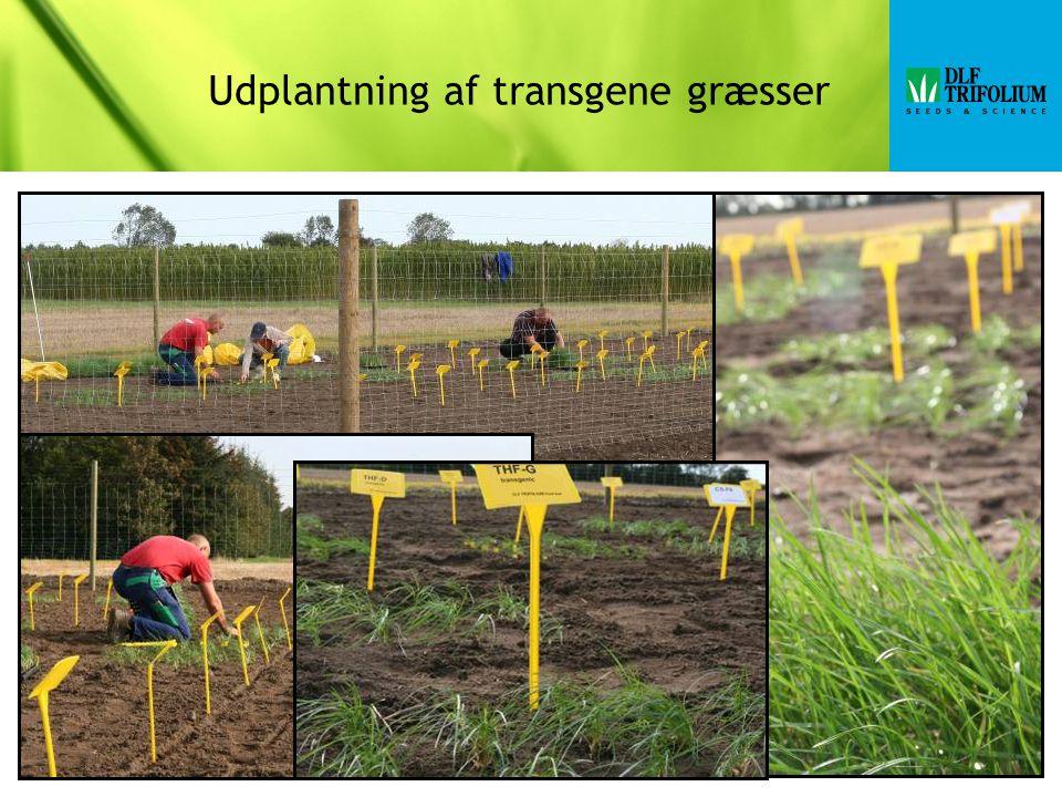 Udplantning af transgene græsser