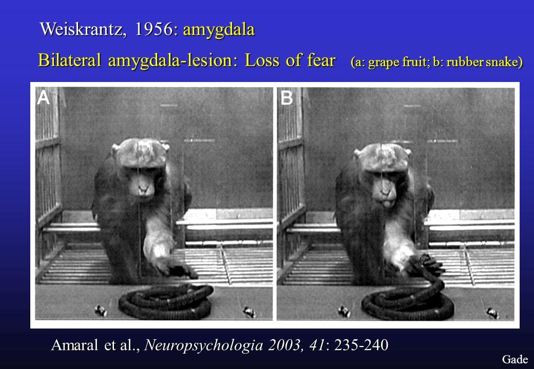Gade Weiskrantz, 1956: amygdala Amaral et al., Neuropsychologia 2003, 41: 235-240 Bilateral amygdala-lesion: Loss of fear (a: grape fruit; b: rubber snake)