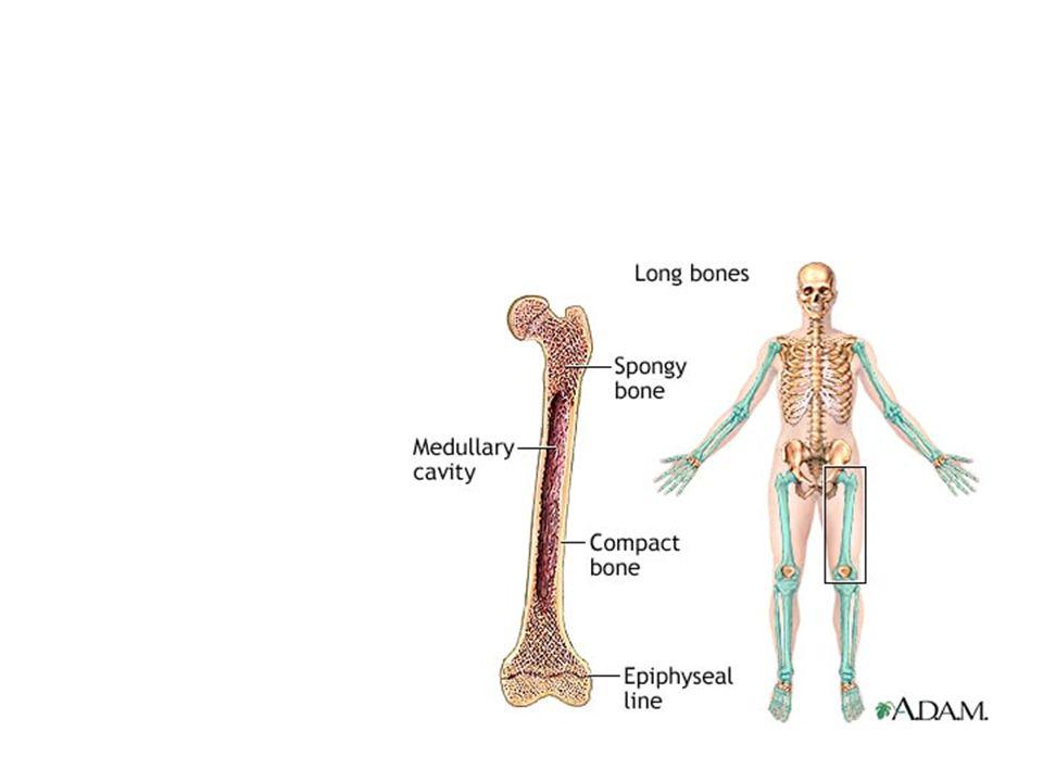 Fordele ved hyalin brusk Nedsætter slitage på knoglevævet Nedsætter friktionen mellem knogleenderne Optager tryk og virker som stødpude mellem knogleenderne.