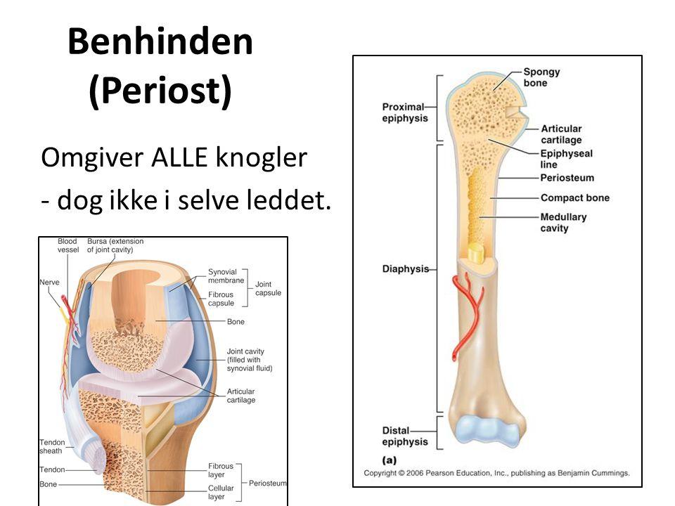 Benhindens funktion Indeholder blodkar samt nervebaner.