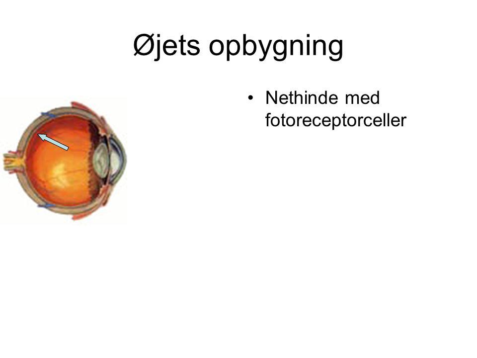 Øjets opbygning Nethinde med fotoreceptorceller