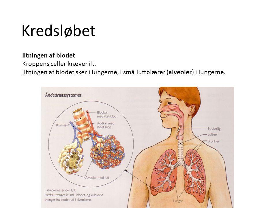 Kredsløbet Iltningen af blodet I lungerne føres blodet ud i meget tynde blodkar omkring alveolerne.
