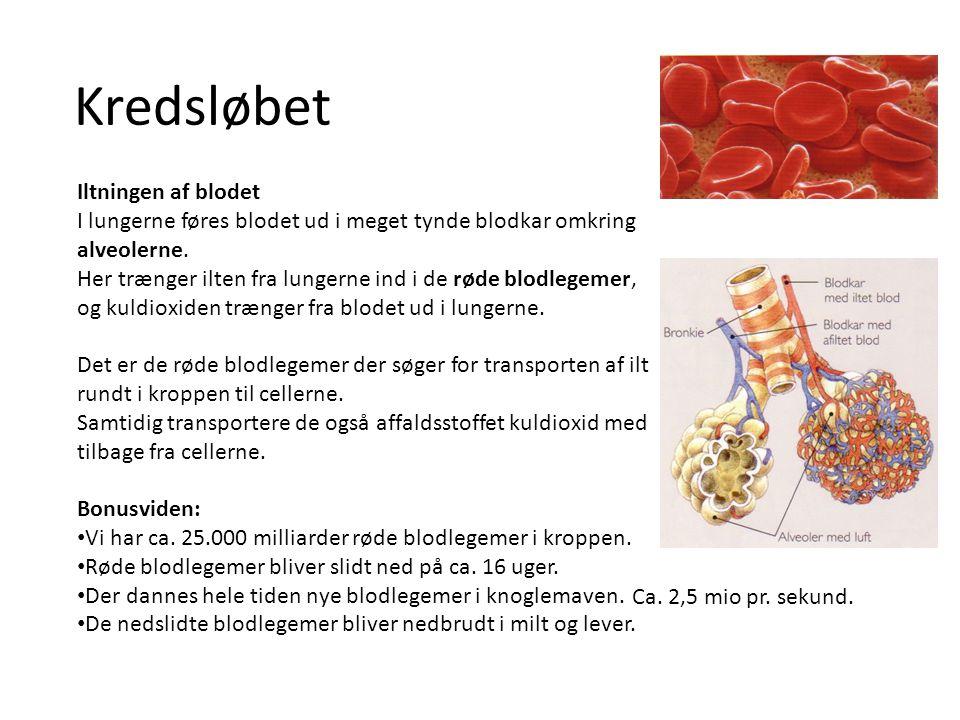 Kredsløbet Iltningen af blodet I lungerne føres blodet ud i meget tynde blodkar omkring alveolerne. Her trænger ilten fra lungerne ind i de røde blodl