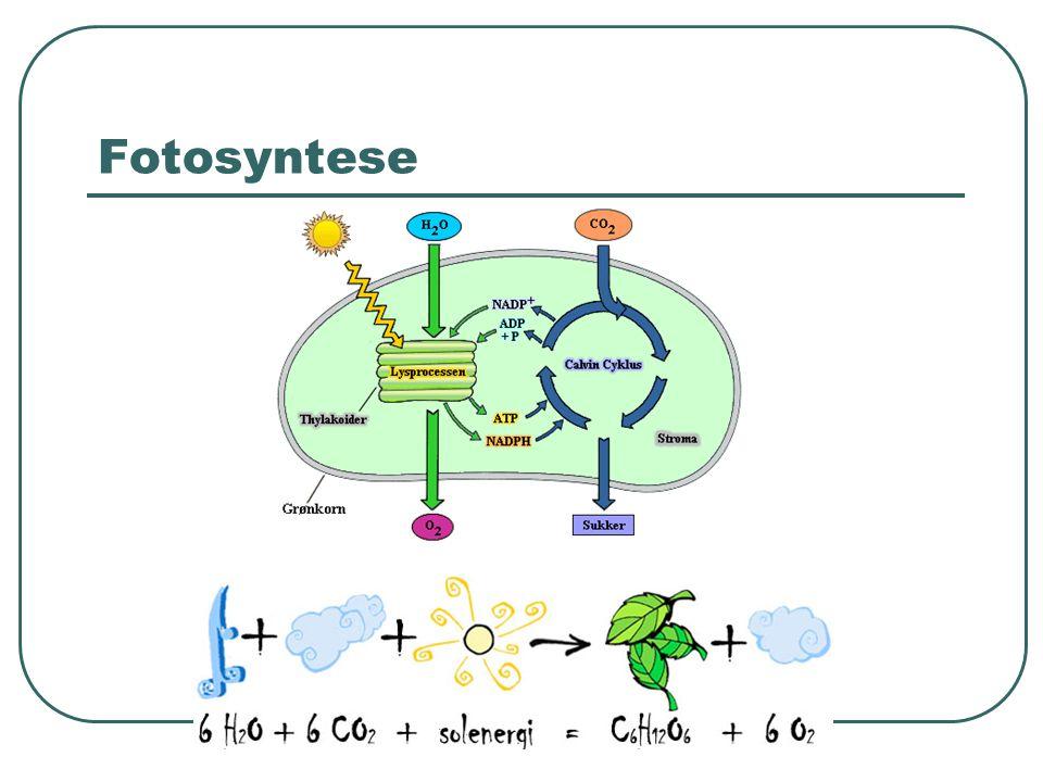 Respiration Planterne bruger den dannede glukose til opbygning af de forskellige kulhydrater, proteiner og fedtstoffer, den har brug for.