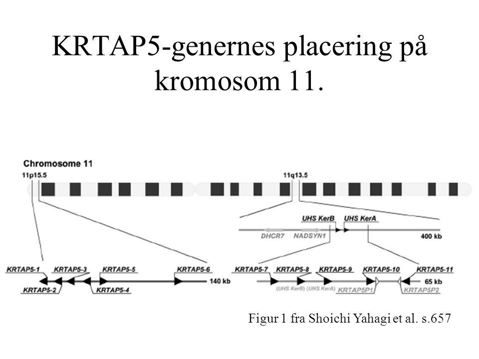 KRTAP5-genernes placering på kromosom 11. Figur 1 fra Shoichi Yahagi et al. s.657