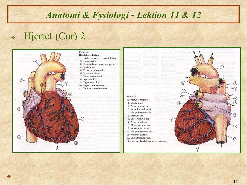 10 Anatomi & Fysiologi - Lektion 11 & 12  Hjertet (Cor) 2 