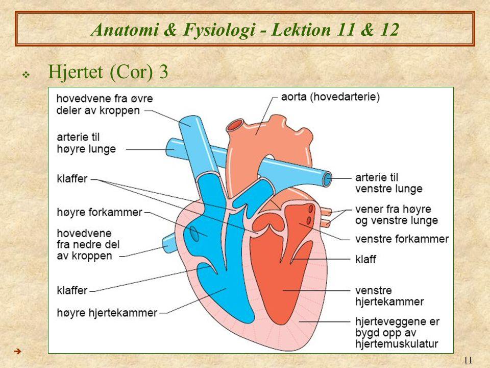 11 Anatomi & Fysiologi - Lektion 11 & 12  Hjertet (Cor) 3 