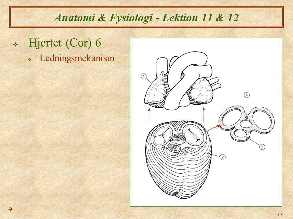13 Anatomi & Fysiologi - Lektion 11 & 12  Hjertet (Cor) 6  Ledningsmekanism 