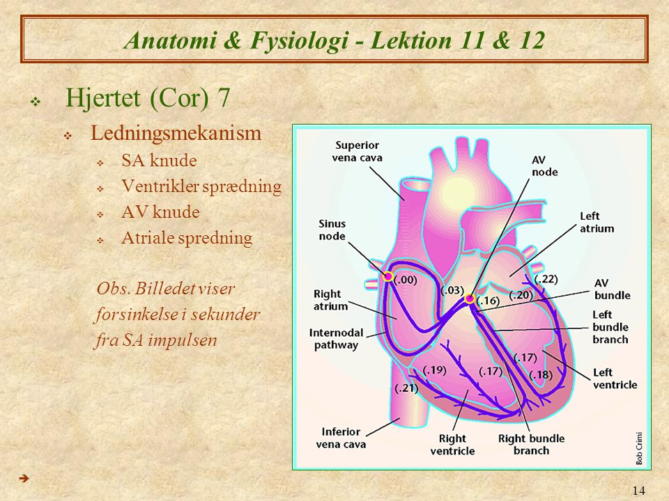14 Anatomi & Fysiologi - Lektion 11 & 12  Hjertet (Cor) 7  Ledningsmekanism  SA knude  Ventrikler sprædning  AV knude  Atriale spredning Obs. Bi