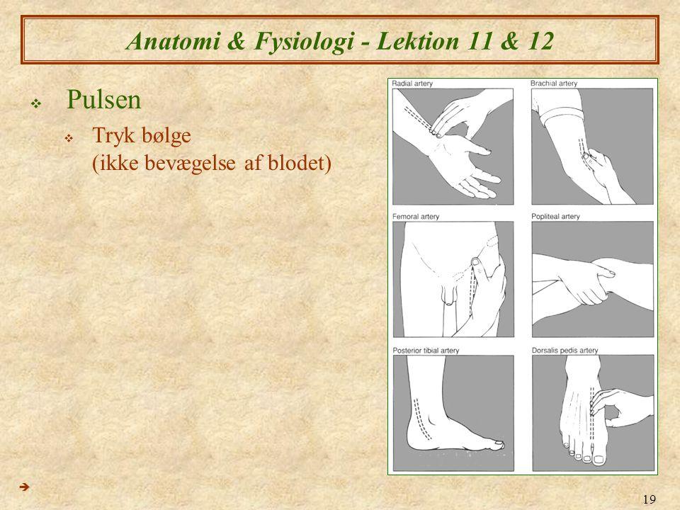 19 Anatomi & Fysiologi - Lektion 11 & 12  Pulsen  Tryk bølge (ikke bevægelse af blodet) 