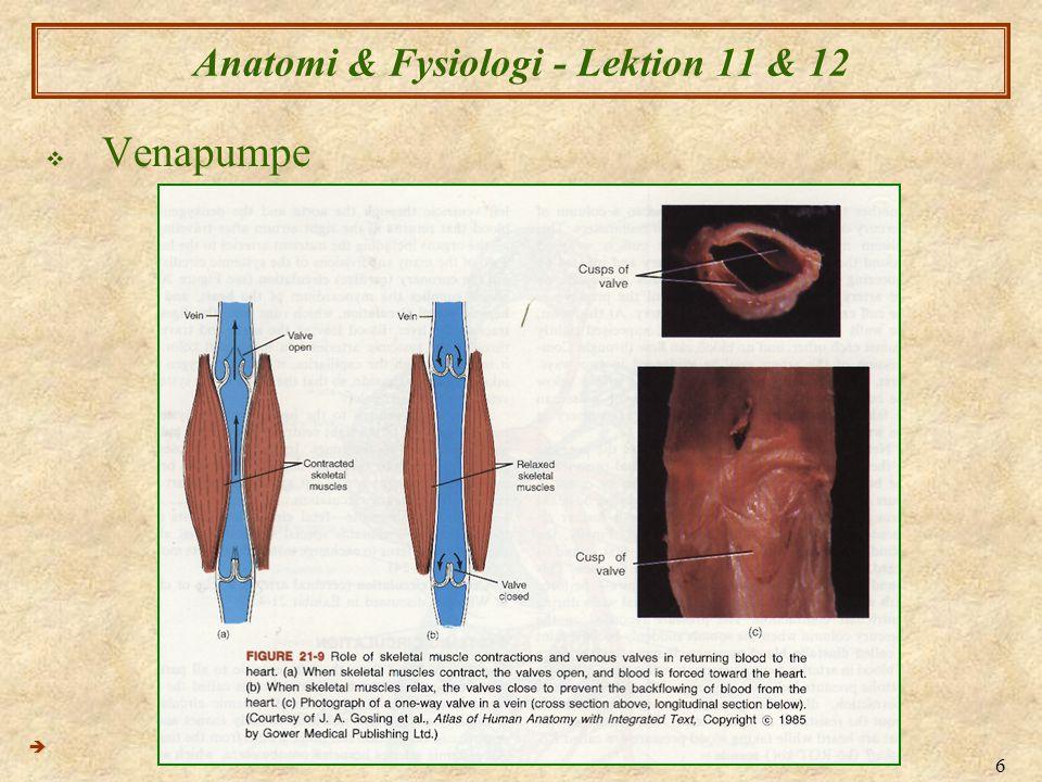 6 Anatomi & Fysiologi - Lektion 11 & 12  Venapumpe 