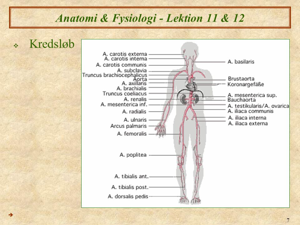 7 Anatomi & Fysiologi - Lektion 11 & 12  Kredsløb 