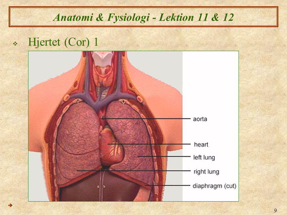9 Anatomi & Fysiologi - Lektion 11 & 12  Hjertet (Cor) 1 