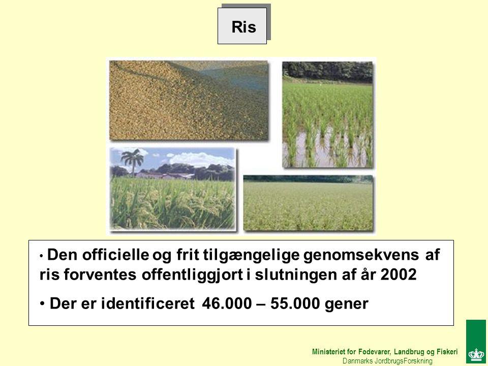 Ris Den officielle og frit tilgængelige genomsekvens af ris forventes offentliggjort i slutningen af år 2002 Der er identificeret 46.000 – 55.000 gener Ministeriet for Fødevarer, Landbrug og Fiskeri Danmarks JordbrugsForskning