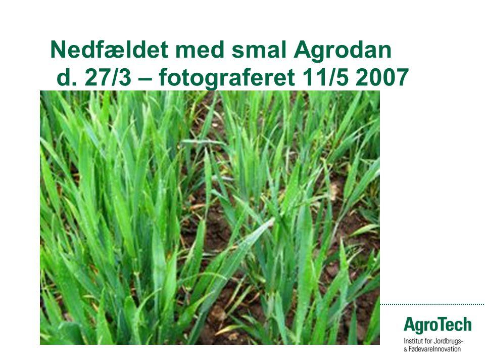 Nedfældet med smal Agrodan d. 27/3 – fotograferet 11/5 2007