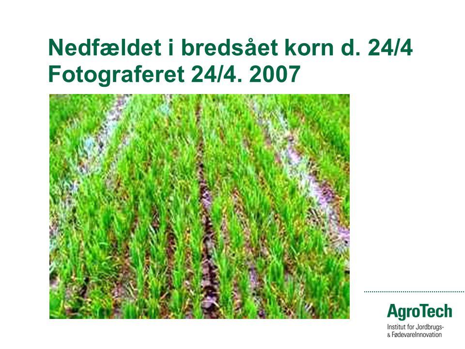 Nedfældet i bredsået korn d. 24/4 Fotograferet 24/4. 2007