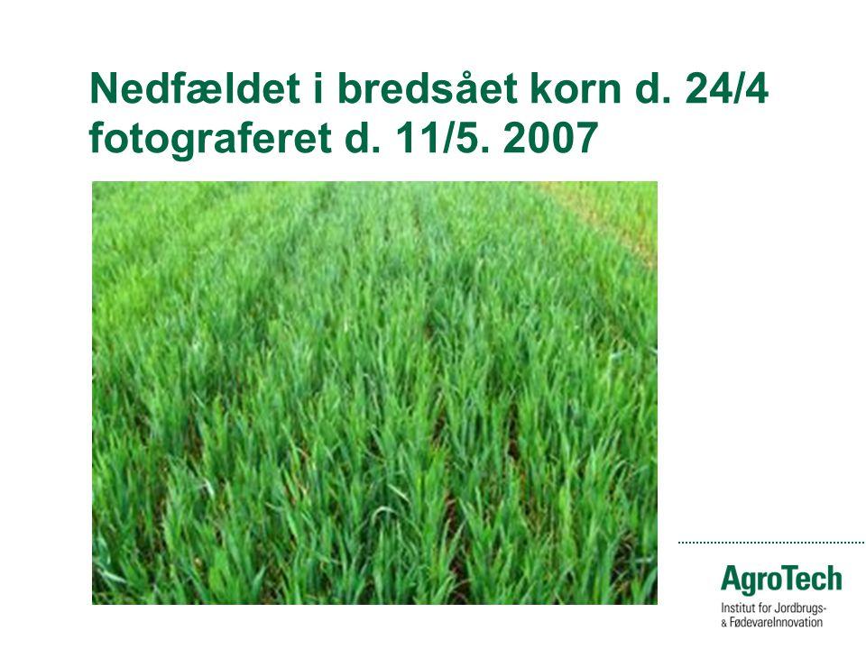 Nedfældet i bredsået korn d. 24/4 fotograferet d. 11/5. 2007