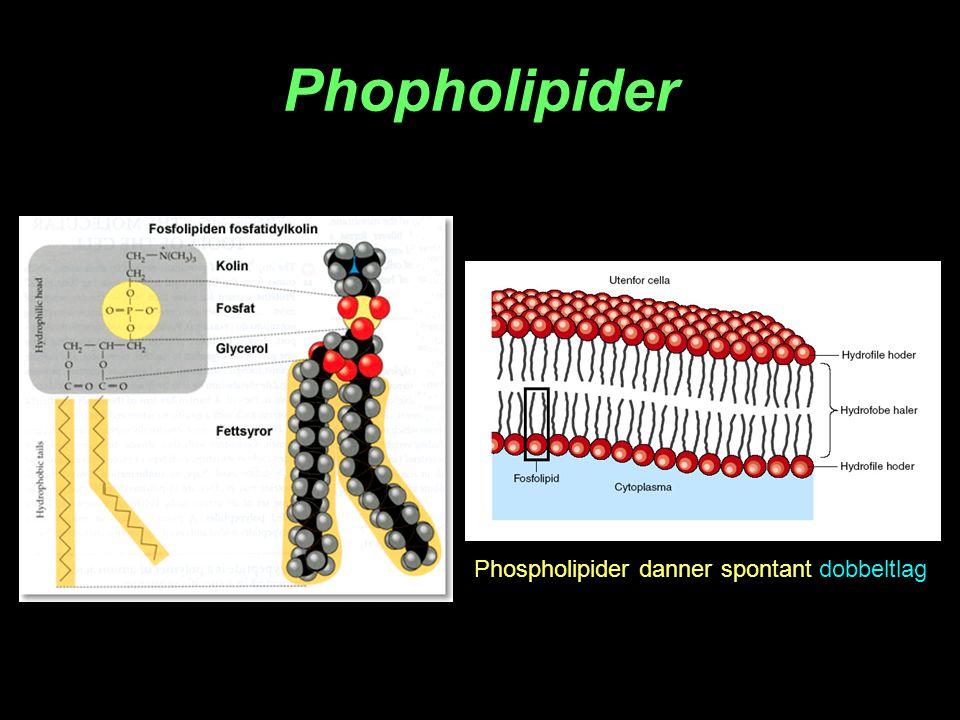 Phopholipider Phospholipider danner spontant dobbeltlag