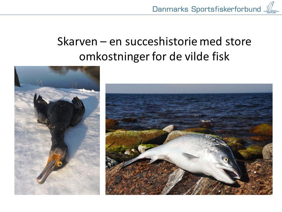 Klik for at redigere titeltypografi i masteren Klik for at redigere undertiteltypografien i masteren 19-11-20141 Skarven – en succeshistorie med store omkostninger for de vilde fisk