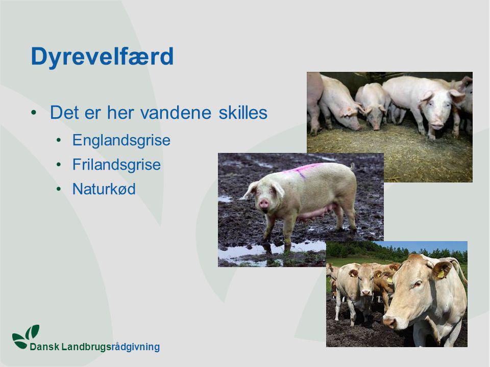 Dansk Landbrugsrådgivning Dyrevelfærd Det er her vandene skilles Englandsgrise Frilandsgrise Naturkød