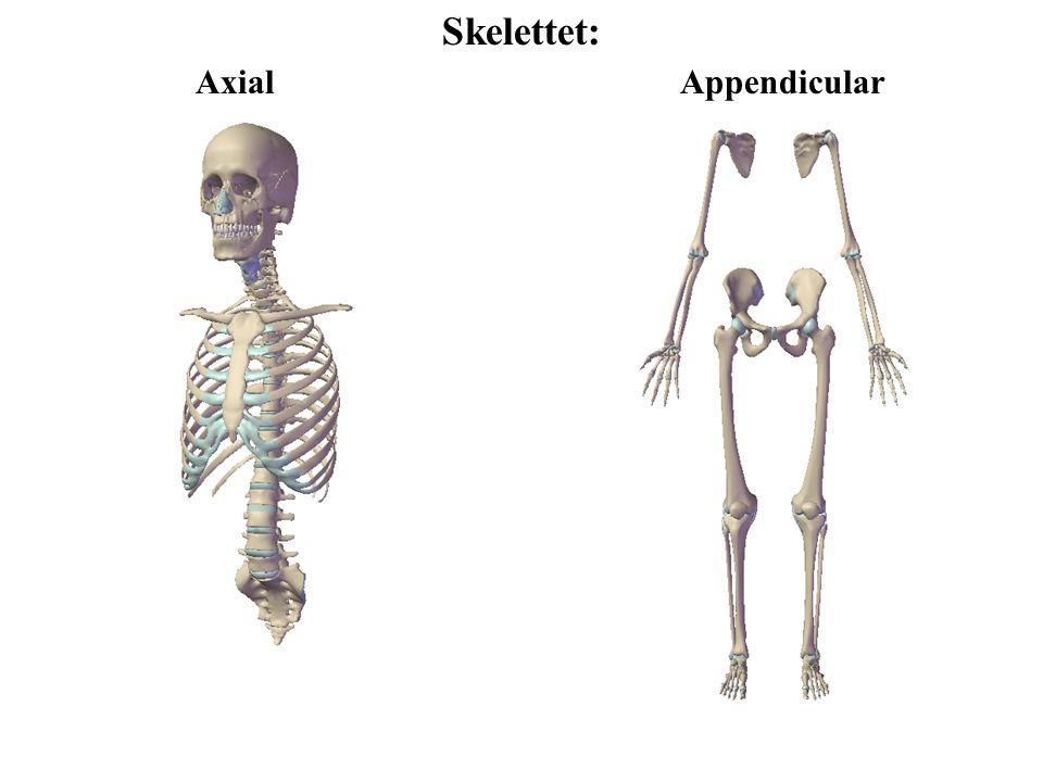 Ledlære Uægte led Ægte led Bruskforbindelser (synchondroser: primære eller, sekundære) Bindevævs- forbindelser (syndemoser: elastiske eller kollagene fibre) Synoviale led Har ledhule Led mellem brusk- beklædte ledflader Har en synovial- membran Har en ledkapsel uden på synovial- membranen Minimal bevægelse af knogler F.eks.