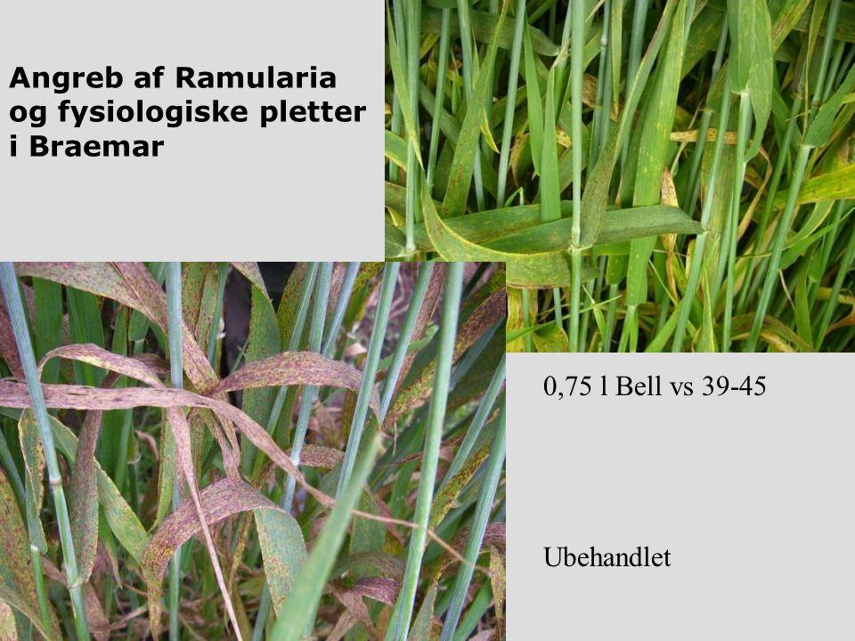 Angreb af Ramularia og fysiologiske pletter i Braemar 0,75 l Bell vs 39-45 Ubehandlet