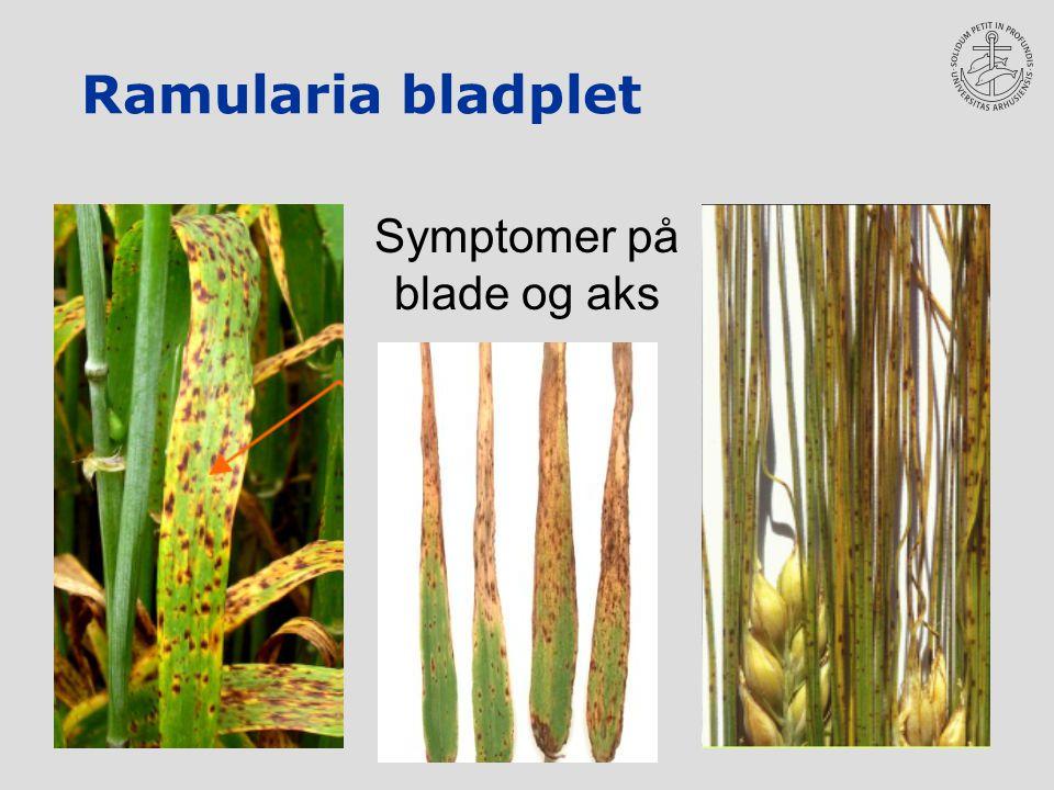 Ramularia bladplet Symptomer på blade og aks